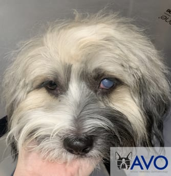 dog with Corneal Endothelial Dystrophy