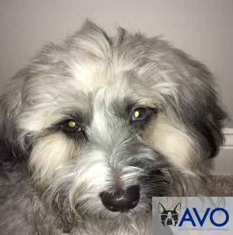dog with Corneal Endothelial Dystrophy after treatment